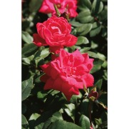 Frugalista_MDay.gardener.roses.Knockout