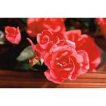 Frugalista_MDay.gardener.Roses.Monrovia